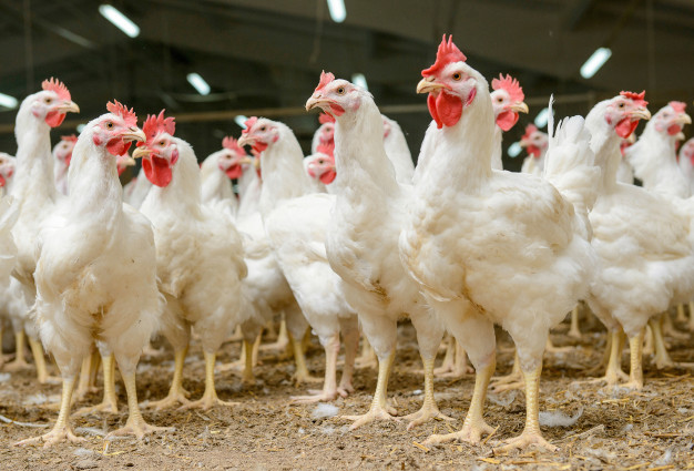 Advantages of Using Biogas in Poultry Businesses